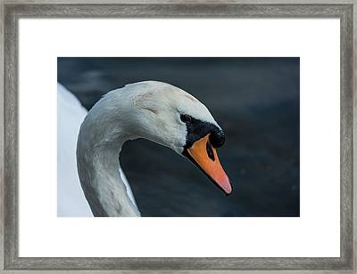 Framed Print featuring the photograph Swan Head Close Up On Blue Background by Scott Lyons