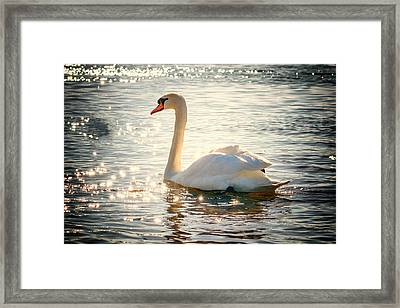 Swan On Golden Waters Framed Print