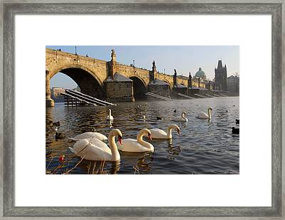 Swans And Charles Bridge Framed Print