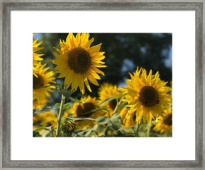 Sweet Sunflowers Framed Print