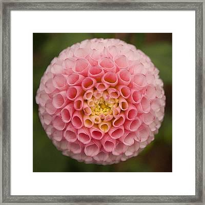 Symmetrical Dahlia Framed Print