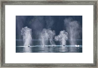 Synchronized Swimming Humpback Whales Alaska Framed Print