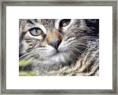 Tabby Kitten Framed Print by JAMART Photography