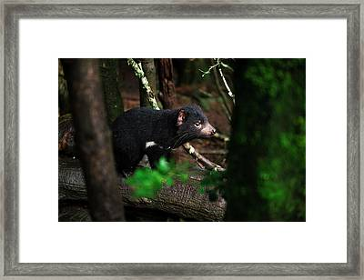 Framed Print featuring the photograph Tasmanian Devil Found During The Day In Tasmania. by Rob D