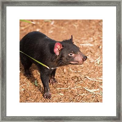 Framed Print featuring the photograph Tasmanian Devil In Hobart, Tasmania by Rob D