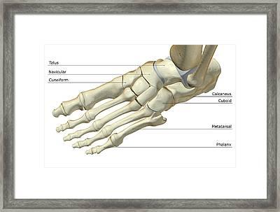 The Bones Of The Foot Framed Print by Medicalrf.com