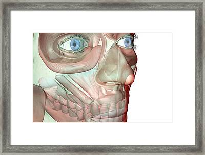 The Musculoskeleton Of The Face Framed Print by Medicalrf.com