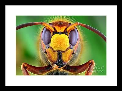European Hornet Framed Prints