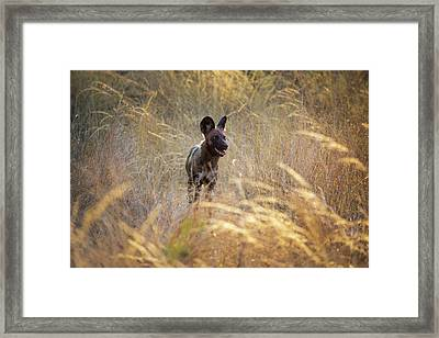 Framed Print featuring the photograph The Wild Dog Of Africa by John Rodrigues