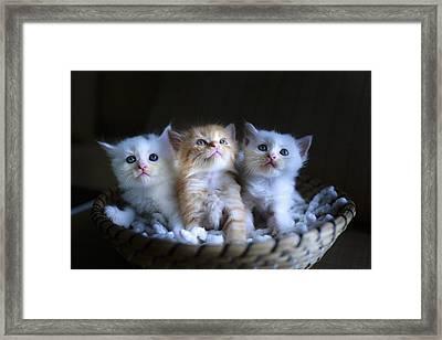 Three Little Kitties Framed Print