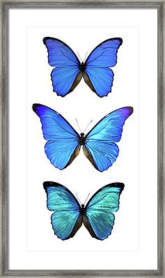 Three Morpho Butterflies Framed Print by Imv