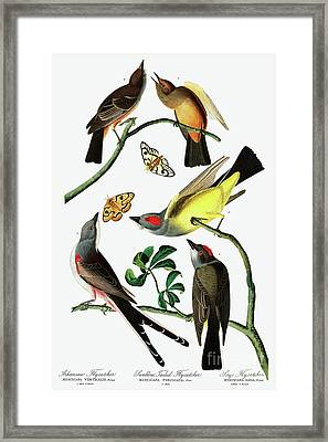 Three Varieties Of Flycatcher From Audubon Framed Print