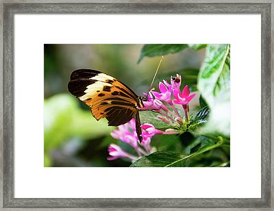 Tiger Longwing Butterfly Drinking Nectar  Framed Print
