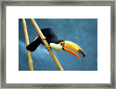 Toco Toucan Framed Print by By Ken Ilio