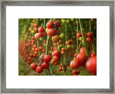 Tomatoes Growing In A Greenhouse Framed Print by Ozgurdonmaz