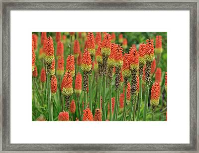 Torch Lily Framed Print by Aimintang