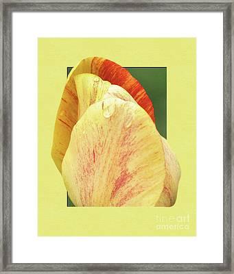 Tulip Petals Escaping Framed Print