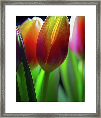 Framed Print featuring the photograph Tulips by John Rodrigues