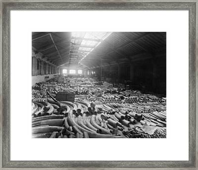 Tusk Warehouse Framed Print by Hulton Archive