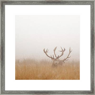 Two Stag Deer Resting In Field On Foggy Framed Print by Beholdingeye