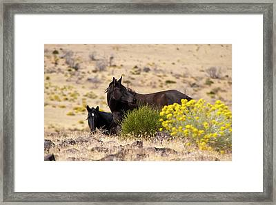 Two Wild Black Horses Among Yellow Flowers Framed Print