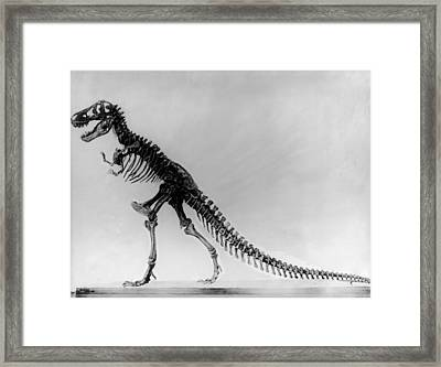 Tyranosaurus Skeleton Framed Print by Hulton Archive