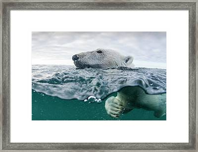 Underwater Polar Bear In Hudson Bay Framed Print