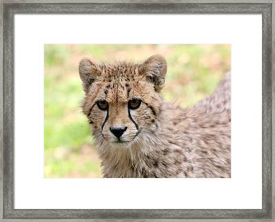 Unwavering Cheetah Youngster Framed Print by Ger Bosma