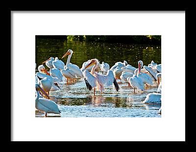 Pelican Island National Wildlife Refuge Framed Prints