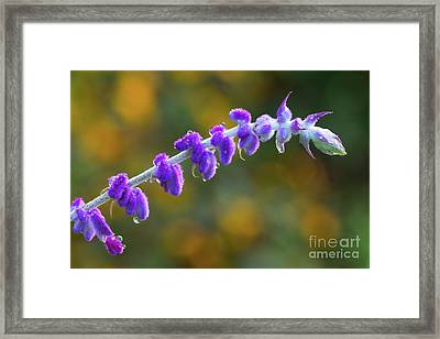 Velvet Dew Framed Print by Steven Dillon