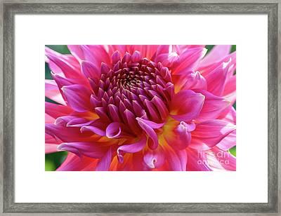 Vibrant Dahlia Framed Print