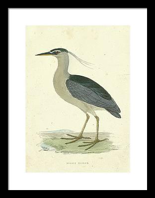 Night Heron Framed Prints