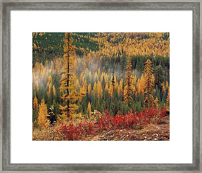 Western Larch Forest Autumn Framed Print