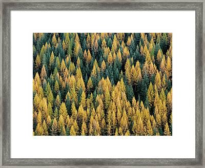 Western Larch Forest Framed Print by Leland D Howard