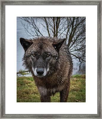 Wet Wolf Framed Print