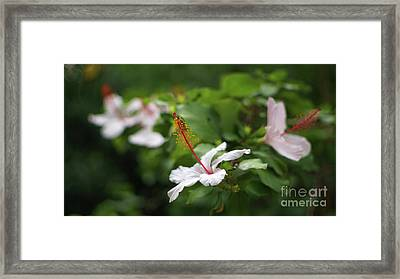 Framed Print featuring the photograph White Hibiscus Flower by Pablo Avanzini