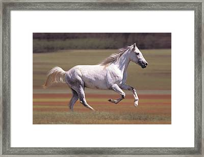 White Horse Running In Field Framed Print by Comstock