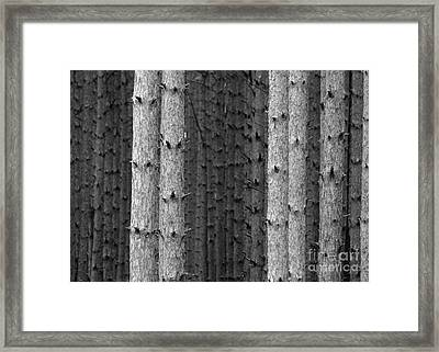 White Pines Black And White Framed Print