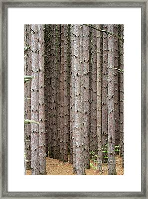 White Pines Framed Print