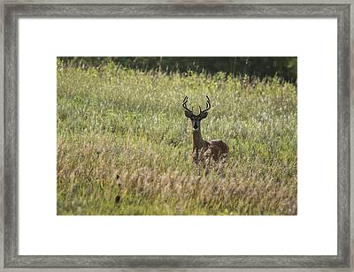 Framed Print featuring the photograph White-tailed Deer by Scott Bean