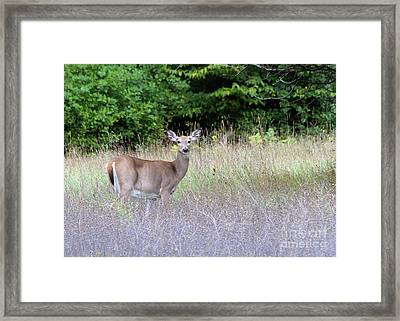 White Tale Deer Framed Print