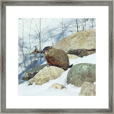 Winter Groundhog Framed Print