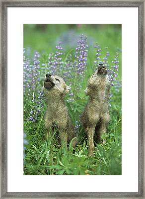 Wolf Puppies Howling In Meadow Framed Print by Design Pics / David Ponton