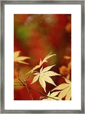 Yellow Acer Leaves Against A Vibrant Framed Print by Stephen Spraggon