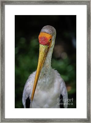 Yellow Billed Storks Framed Print