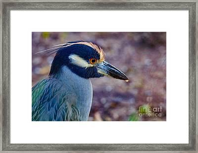 Yellow-crowned Night Heron Framed Print