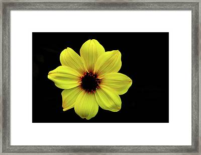 Yellow Dahlia Framed Print