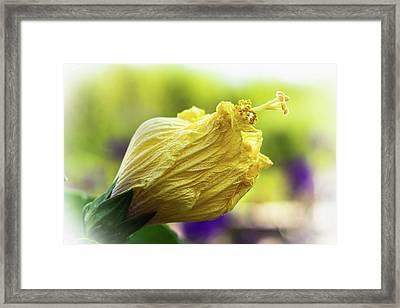 Yellow Mature Hibiscus  Framed Print