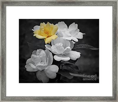 Yellow Rose Cluster Partial Color Framed Print
