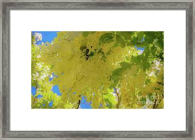 Yellow Shower Tree Flowers - Hawaii Framed Print by D Davila
